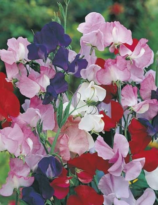 Sweet Pea Mammoth Mixed VALUE PACK