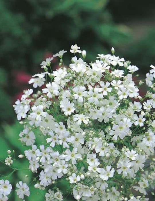 Gypsophila Monarch White (Baby's Breath)