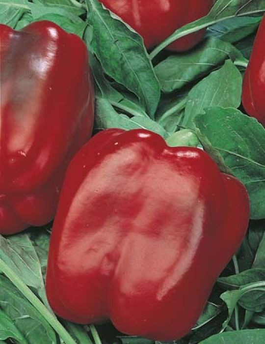 Capsicum Californian Wonder