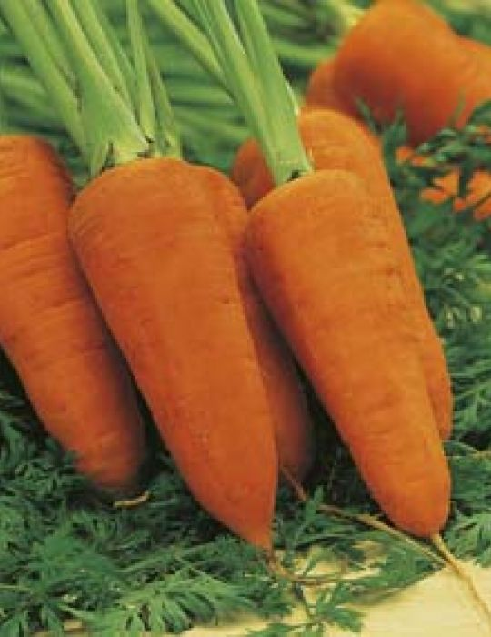 Carrot Chantenay Red Cored VALUE PACK