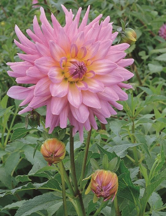 Dahlia Mariner (season:Aug-Sep)