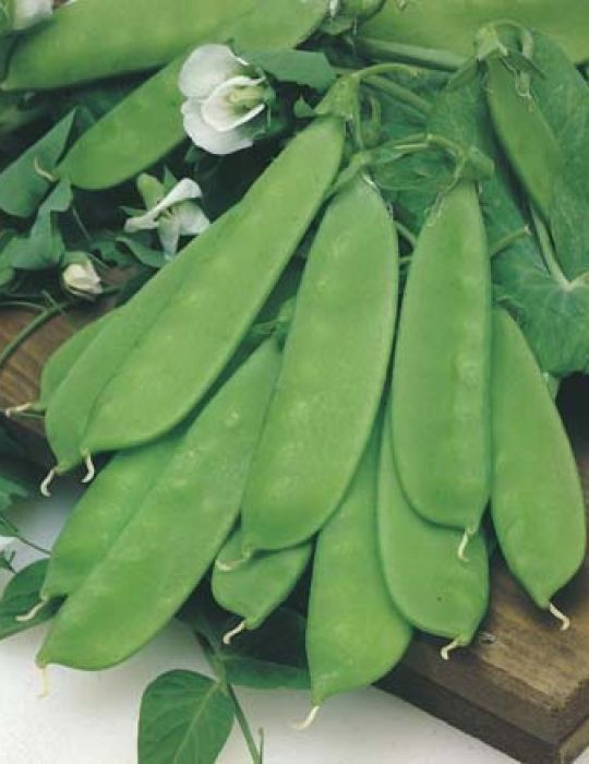 Snow Pea Oregon Dwarf