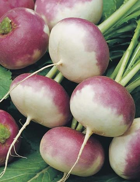 Turnip Early Purple