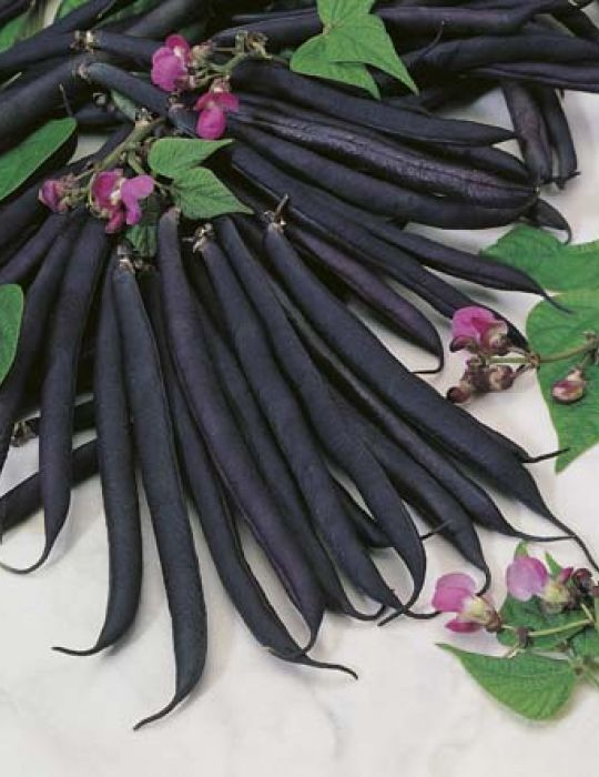 Bean, Dwarf Purple Queen