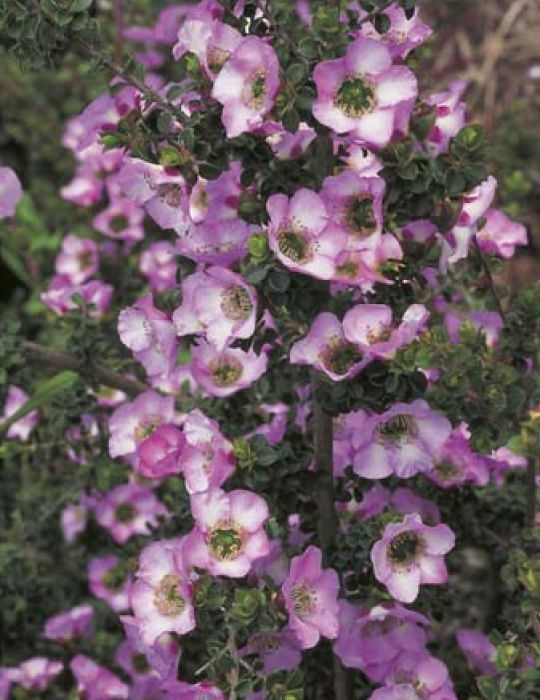 Round-leaf Tea Tree WILDFLOWER - NOT AVAILABLE TO WA/TAS/SA