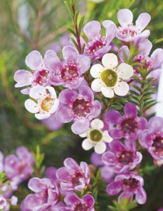 Geraldton Wax WILDFLOWER - NOT AVAILABLE TO WA/TAS