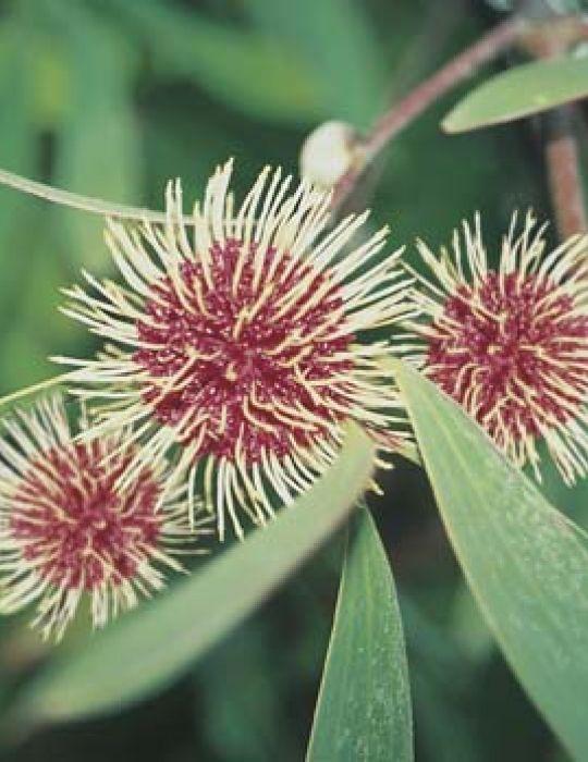 Pincushion Hakea WILDFLOWER