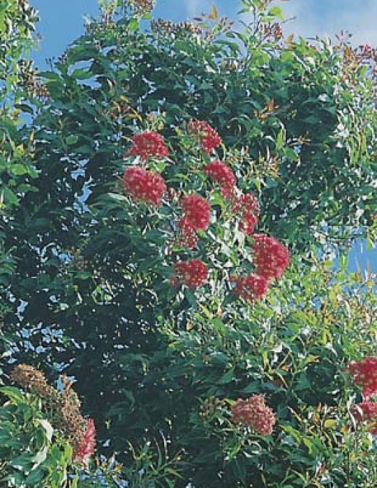 Red Flowering Gum WILDFLOWER - NOT AVAILABLE TO WA/TAS/SA