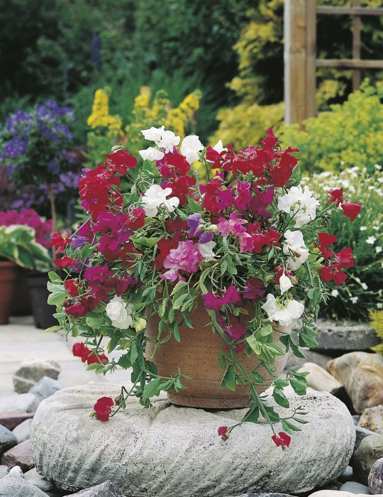 Sweet Pea Patio Mix Dwarf