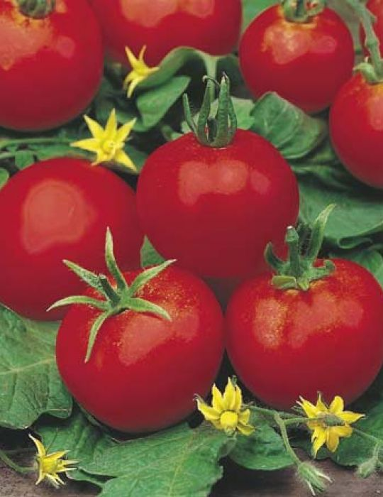Tomato Moneymaker ORGANIC