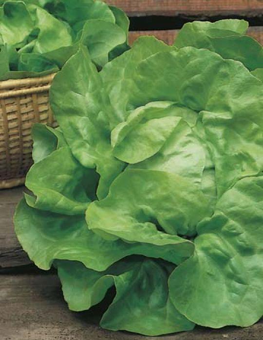 Lettuce Green Mignonette