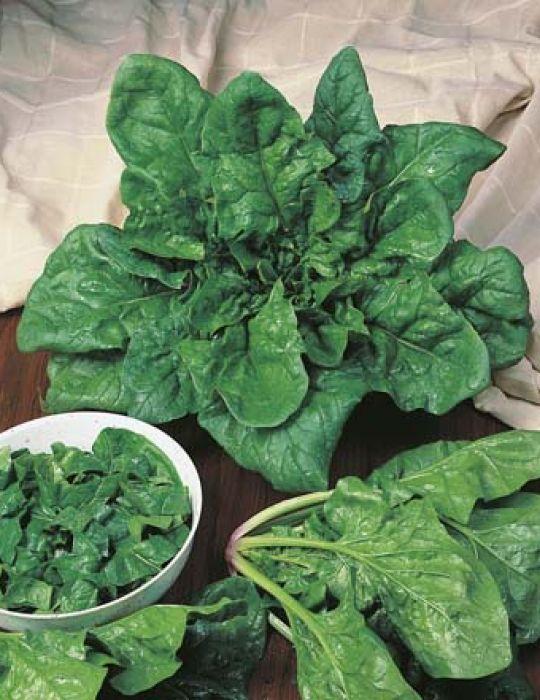 Spinach Matador ORGANIC