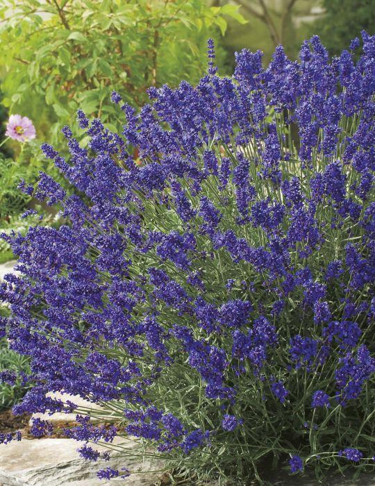 Lavender Hidcote Blue Strain