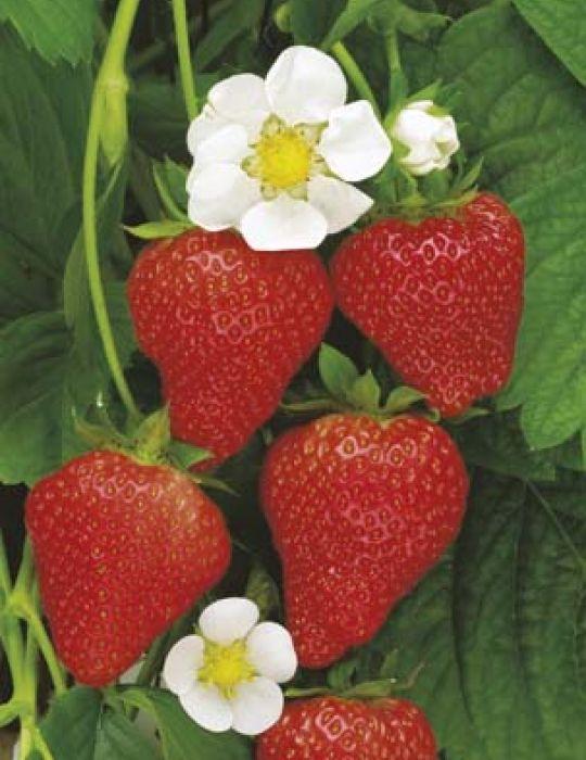 Strawberry Temptation (Seeds)
