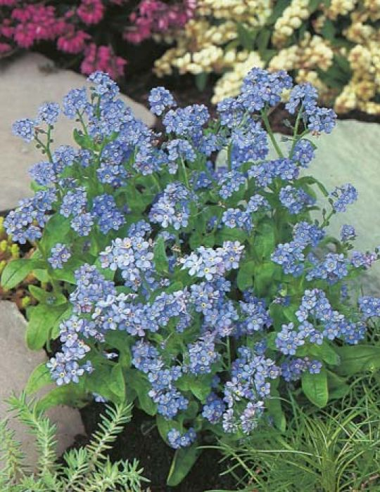 Forget-Me-Not Indigo