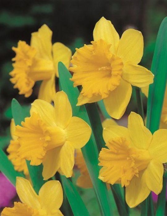 Daffodil Welcome