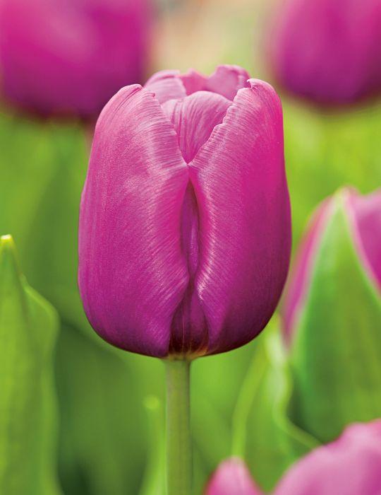 Tulip Purple Flag