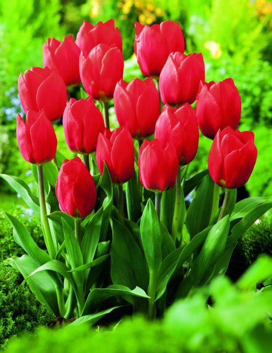 Tulip Blood Red