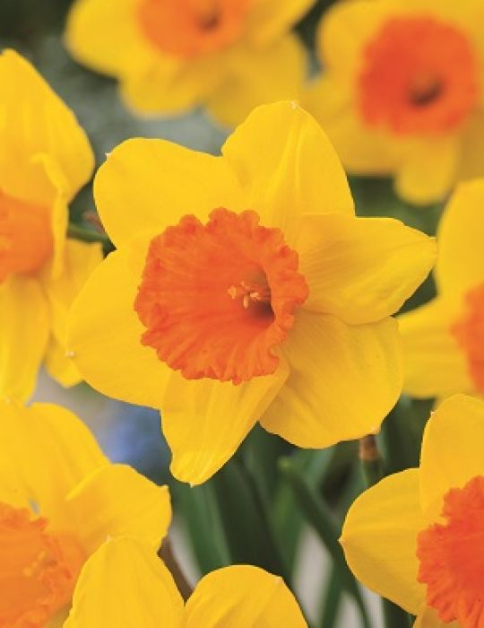 Daffodil Homefires