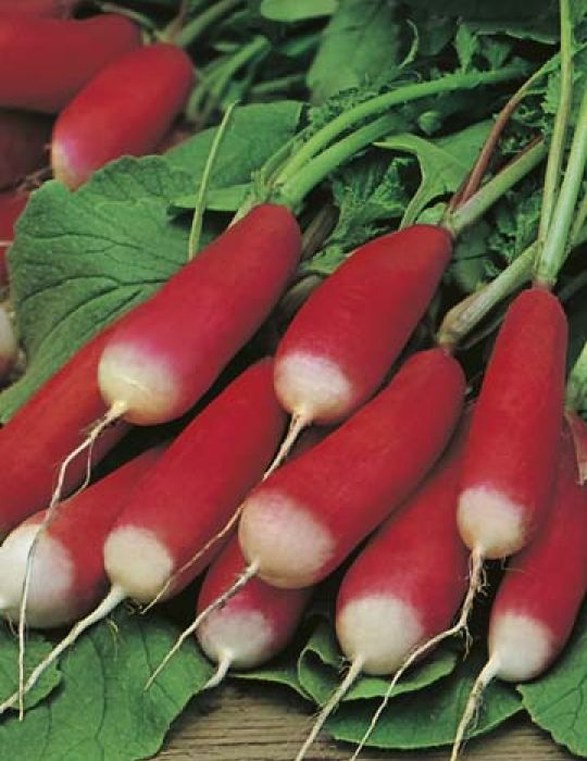 Radish French Breakfast