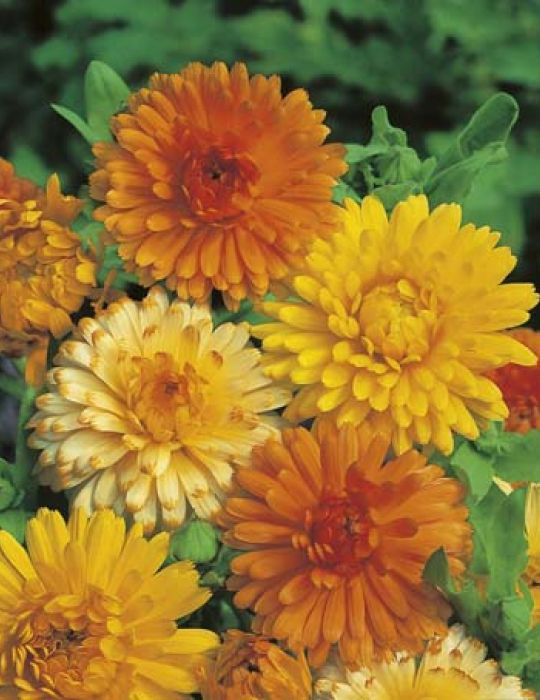 Calendula Pacific Beauty Mixed