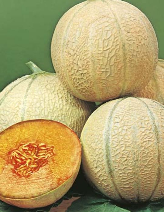 Rock Melon Planters Jumbo Rock Melon Seeds Fruit Seeds By Mr Fothergills Get full nutrition facts and other common serving sizes of cantaloupe cantaloupe (rockmelon). rock melon planters jumbo