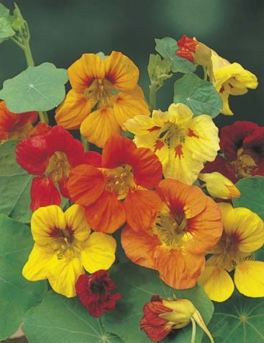 Nasturtium Trailing Mixed Colours
