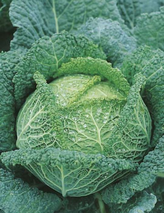 Cabbage Savoy King F1 Cabbage Seeds Vegetable Seeds By Mr Fothergills