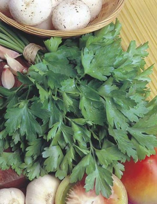 Parsley Giant of Italy ORGANIC