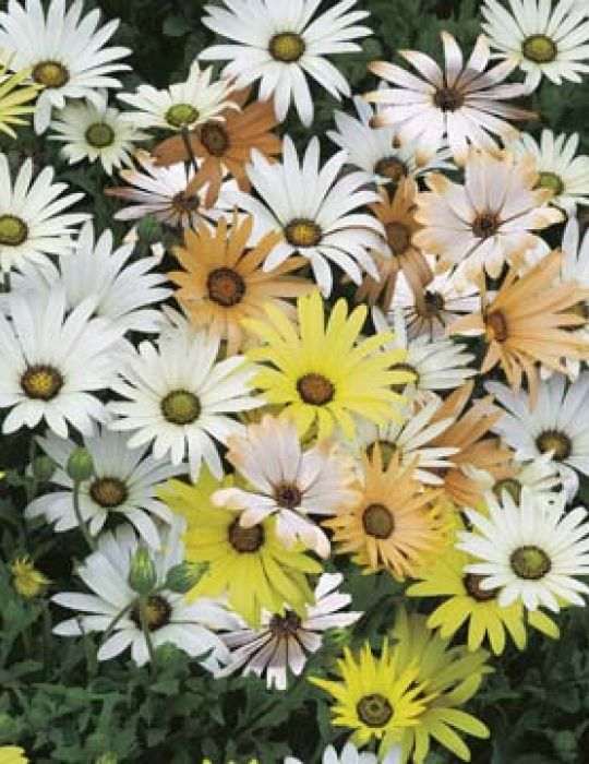 African Daisy (Dimorphotheca) Limpopo Mix