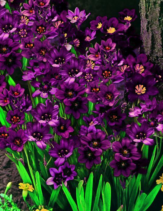 Sparaxis Purple