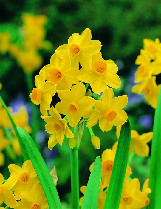 Jonquil Soleil d'Or Value Pack