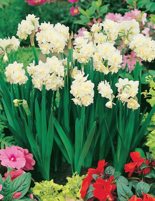 Daffodil Erlicheer