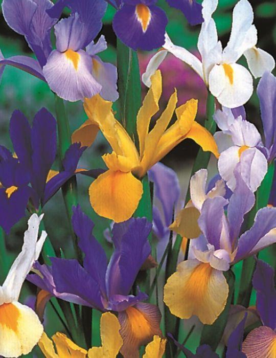Dutch Iris Mixed Value Pack