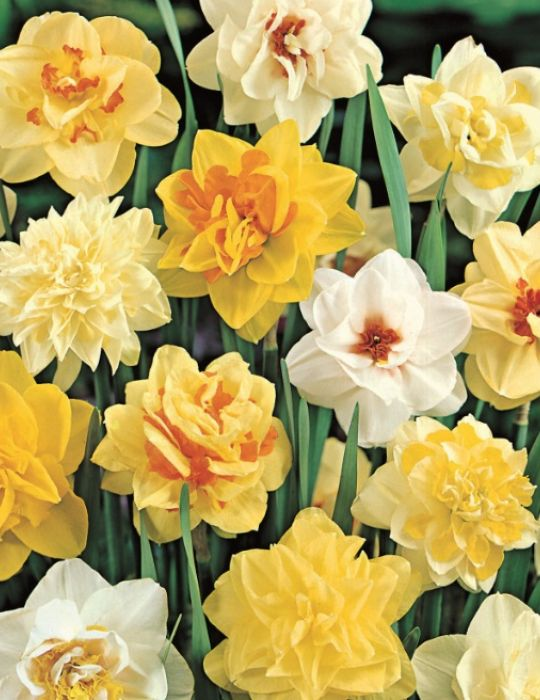 Daffodil Double Mixed Value Pack