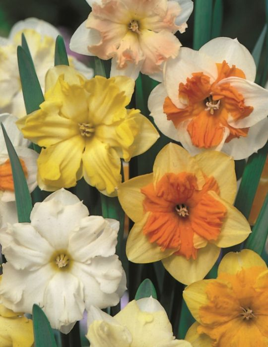Daffodil Butterfly Mixed Value Pack