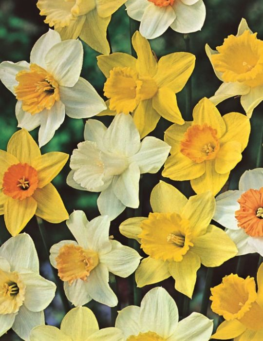 Daffodil Mixed Value Pack