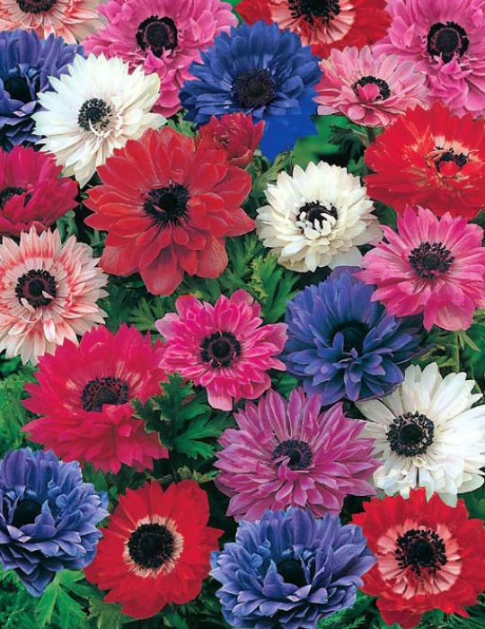 Anemone St. Brigids Mixed Value Pack