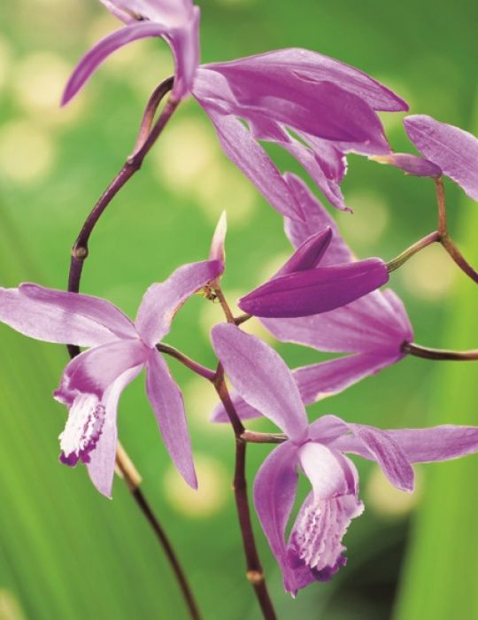 Chinese Ground Orchid (season: Winter)
