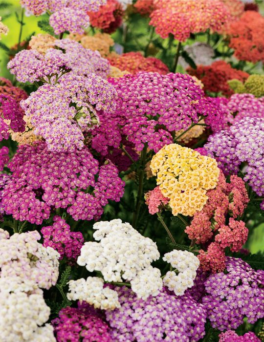 Achillea Mix (season: Winter)