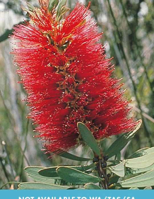 Albany Bottlebrush WILDFLOWER seeds - NOT AVAILABLE TO WA/TAS/SA
