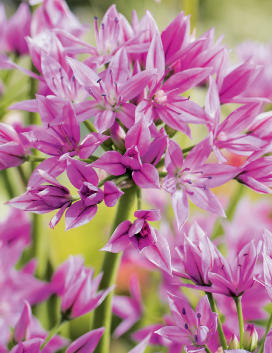 Allium Pink Perfection