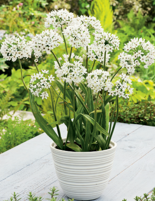 Allium White Cloud