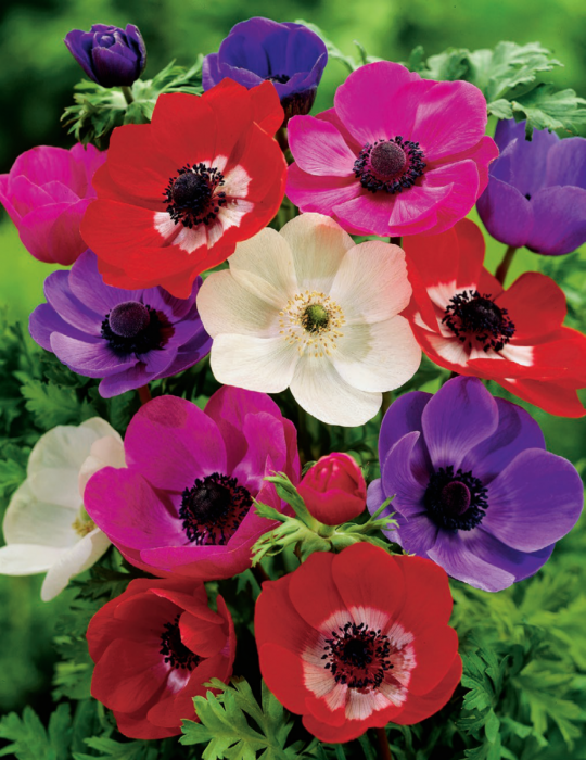 Anemone de Caen Mixed Value Pack