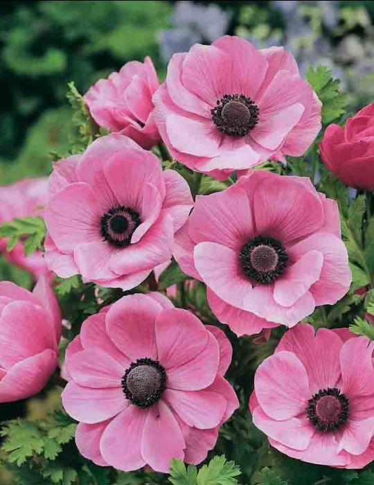 Anemone de Caen Pretty Pink