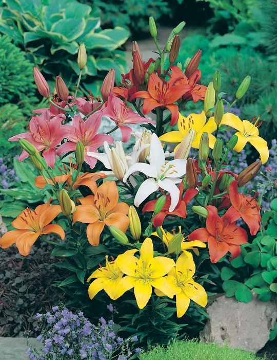 Lilium Asiatic Mix Bumper Bargain 10-Pack (season: Winter)