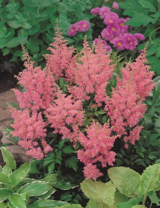 Astilbe Pink (Bulb) (season: Winter)