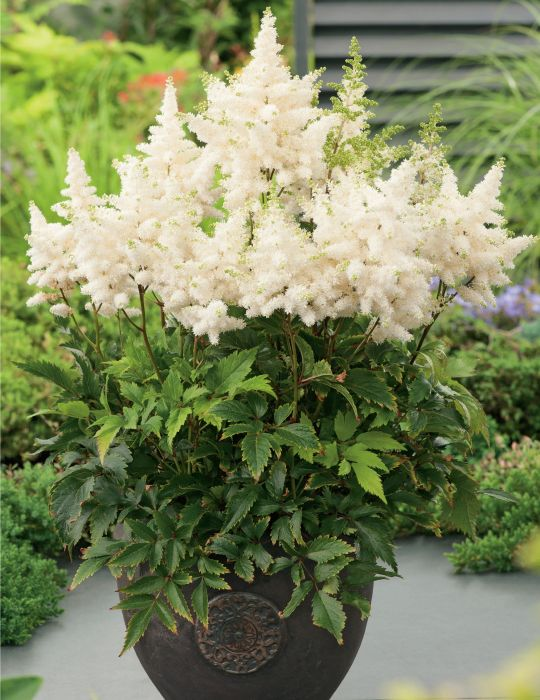 Astilbe White (season: Winter)