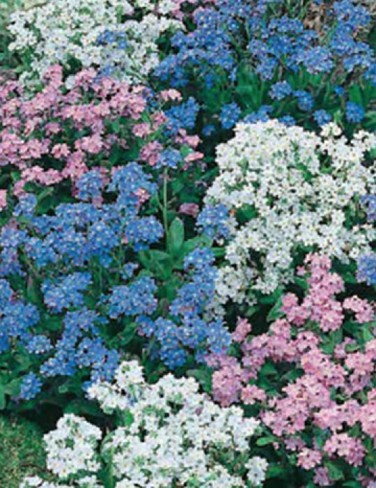 Forget-Me-Not Mix