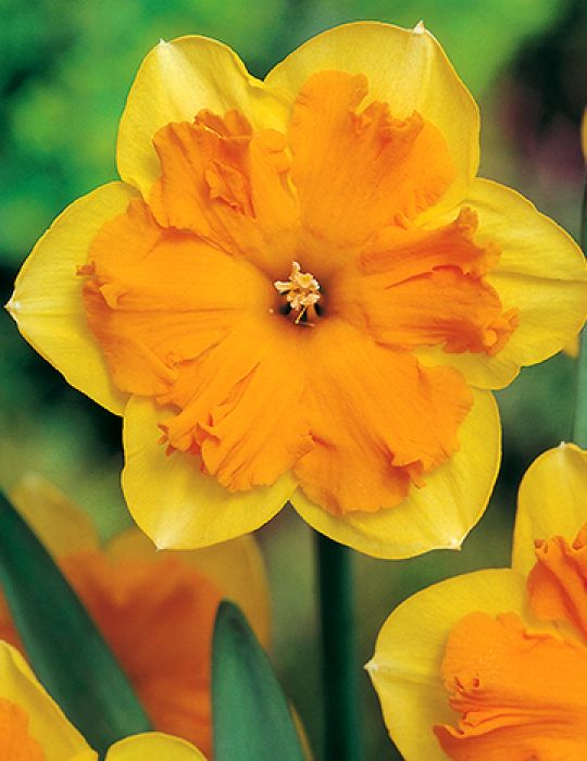 Daffodil Butterfly Congress